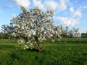 1 lente oude appelboom